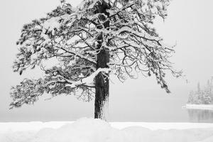 USA, Washington State. Wenatchee National Forest, ponderosa pine. by Jamie & Judy Wild