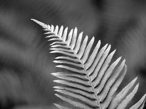 USA, Washington State. Western sword fern. by Jamie & Judy Wild