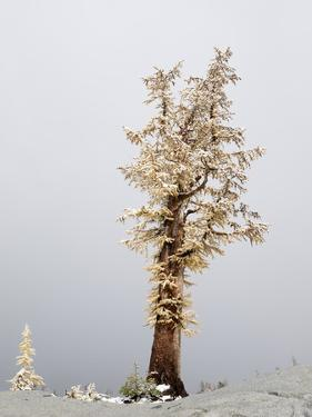 Washington State, Alpine Lakes Wilderness. Enchantment Lakes, snow-covered larch trees by Jamie & Judy Wild