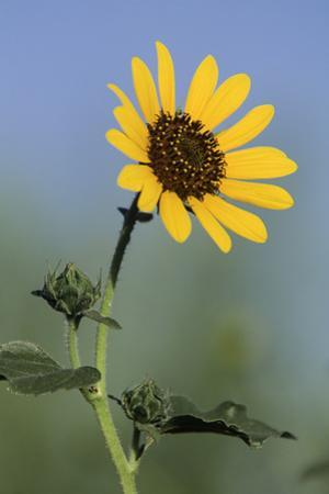 Washington State, Arrowleaf Balsamroot flower by Jamie & Judy Wild
