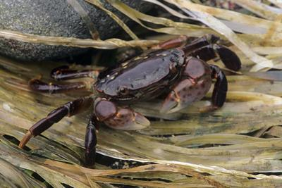 Washington State, Olympic National Park, Second Beach, Purple Shore Crab by Jamie & Judy Wild