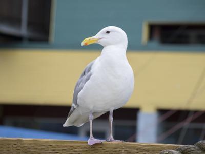 Washington State, Seattle, Waterfront, Seagull by Jamie & Judy Wild