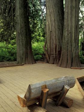 Western Red Cedars in the Grove of Patriarchs, Mt. Rainier National Park, Washington, USA by Jamie & Judy Wild