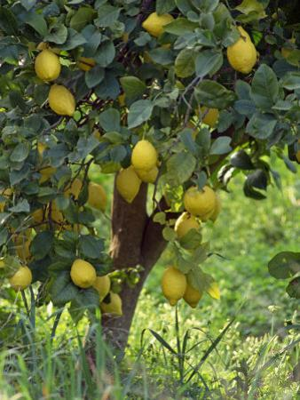 Close-Up of Lemon Tree, Denia, Spain, Europe