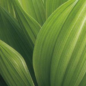 Corn Lily by Jan Bell