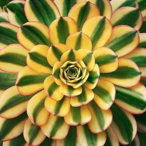 Striped Succulent by Jan Bell