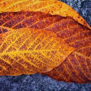 Three Leaves by Jan Bell