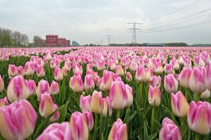 Cultivation of Flower Bulbs in Spring by Jan Marijs