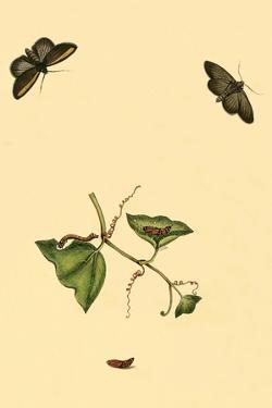 Surinam Butterflies, Moths and Caterpillars by Jan Sepp