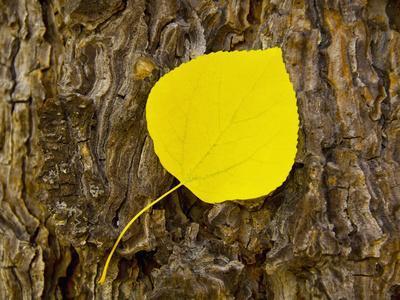 Aspen Leaf, Lake Tahoe, California, USA