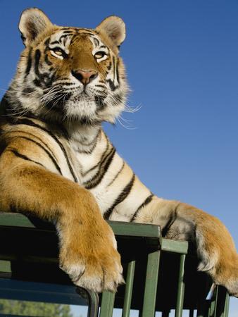 Bengal Tiger Searching for Prey Atop Safari Vehicle at Tiger Canyons, South Africa