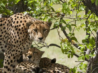 Cheetahs, Botswana
