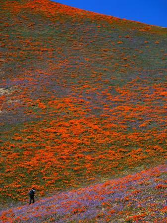 A Photographer Surrounded by California Poppies in the Hills of Gorman, California, USA