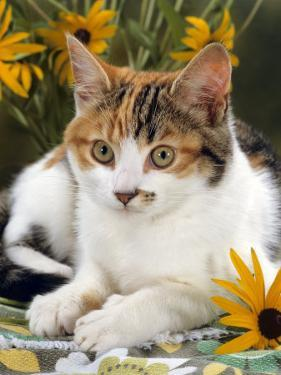 4-Months, Portrait of Tabby-Tortoiseshell-And-White Female Lying on Garden Table with Coneflowers by Jane Burton