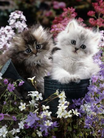 7-Weeks, Gold-Shaded and Silver-Shaded Persian Kittens in Watering Can Surrounded by Flowers by Jane Burton