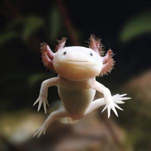 Axolotl (Siredon - Ambystoma Mexicanum) Albino, Captive by Jane Burton