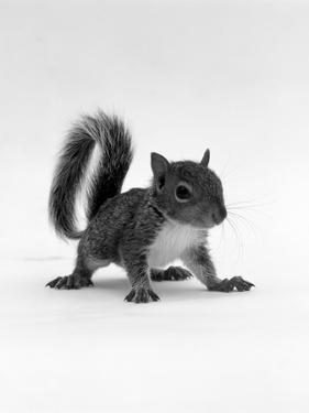 Baby Grey Squirrel, Portrait by Jane Burton