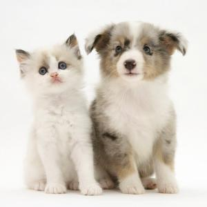 Birman-Cross Kitten Sitting with Blue Merle Shetland Sheepdog Pup by Jane Burton