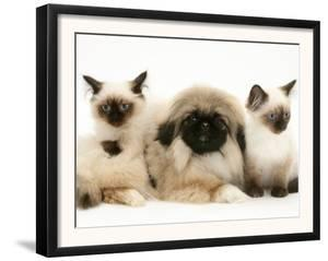 Birman-Cross Kittens with Pekingese Puppy by Jane Burton