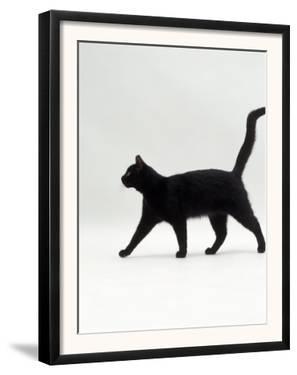 Black Cat (Felis Catus) Walking Profile by Jane Burton