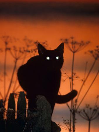 Black Domestic Cat, Silhoutte at Sunset with Eyes Reflecting Light by Jane Burton