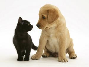 Black Domestic Kitten (Felis Catus) and Labrador Puppy (Canis Familiaris) Looking at Each Other by Jane Burton