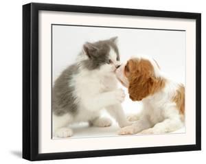 Blenheim Cavalier King Charles Spaniel Puppy Meets Blue Bicolour Kitten by Jane Burton
