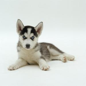 Blue-Eyed Siberian Husky Dog Puppy, 6 Weeks Old, Lying Down by Jane Burton