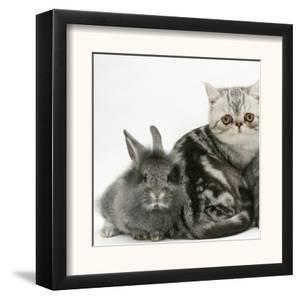 Blue-Silver Exotic Shorthair Kitten with Baby Silver Lionhead Rabbits by Jane Burton