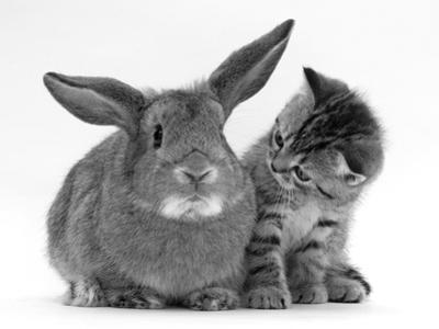 British Shorthair Brown Tabby Female Kitten Looking Inquisitivly at Young Agouti Rabbit by Jane Burton