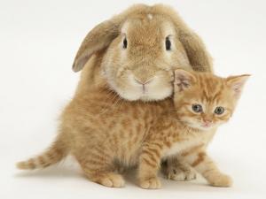 British Shorthair Red Spotted Kitten with Sandy Lop Rabbit by Jane Burton
