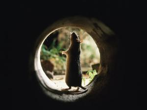 Brown Rat (Rattus Norvegicus) Standing at Entrance to Drain by Jane Burton
