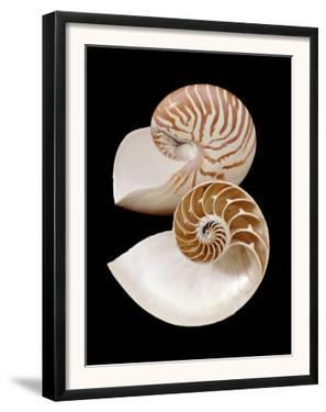 Chambered / Pearly Nautilus (Nautilus Pompilius) Shells, Indo-Pacific by Jane Burton