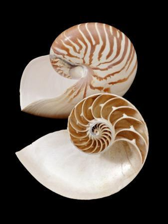 Chambered / Pearly Nautilus (Nautilus Pompilius) Shells, Indo-Pacific by Jane Burton