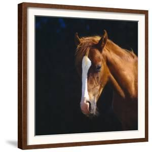 Chestnut Horse with White Blaze, Head Portrait by Jane Burton