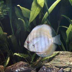 Discus Fish Captive, from Tropical Rainforest Rivers in Brazil by Jane Burton