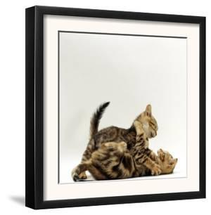 Domestic Cat, 11-Week, Brown Marble and Spotted Bengal Kittens, Play Fighting by Jane Burton