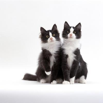 Domestic Cat, 12-Week Identical Brothers, Black-And-White Kittens