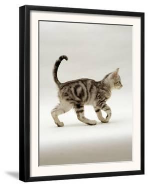 Domestic Cat, 14-Week, Silver Tabby Male Kitten by Jane Burton