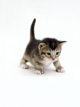 Domestic Cat, 3-Week Ticked-Tabby Kitten by Jane Burton