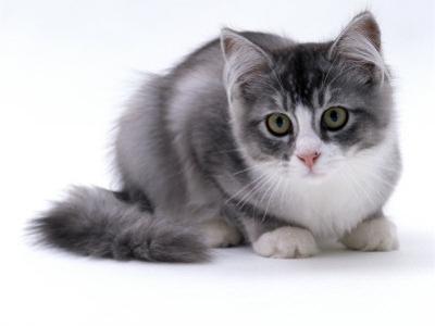 Domestic Cat, 5-Month Silver Bicolour Chinchilla-Cross by Jane Burton