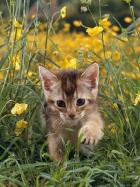 Domestic Cat, 6-Week, Abyssinian Kitten Walking in Grass with Buttercups by Jane Burton