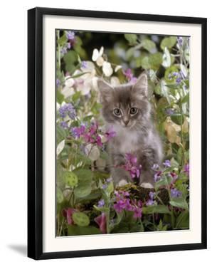 Domestic Cat, 7-Week, Fluffy Grey Male Kitten Among Flowers by Jane Burton