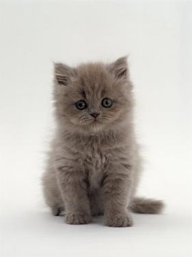 Domestic Cat, 7-Week, Male Blue Longhair Persian Kittens by Jane Burton