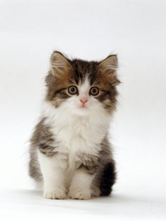 Domestic Cat, 7-Week Tabby and White Persian-Cross Kitten by Jane Burton
