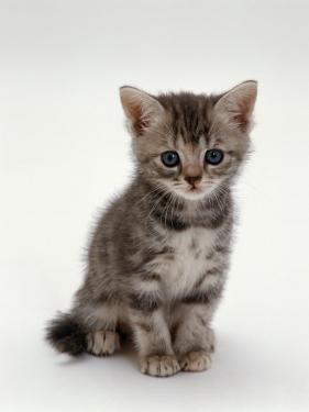 Domestic Cat, 7-Weeks, Silver Tortoiseshell Kitten by Jane Burton