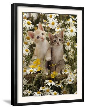 Domestic Cat, 8-Week, Burmese-Cross Kittens Among Ox-Eye Daisies and Buttercups by Jane Burton