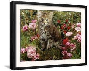 Domestic Cat, 8-Week, Long Haired Tabby Kitten with Pink Roses by Jane Burton