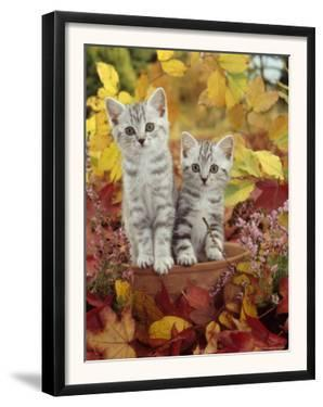 Domestic Cat, 8-Week, Silver Tabby Kittens Among Heather and Autumnal Leaves by Jane Burton