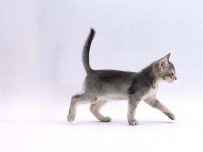 Domestic Cat, 8-Week Ticked-Silver Kitten, Walking Profile by Jane Burton